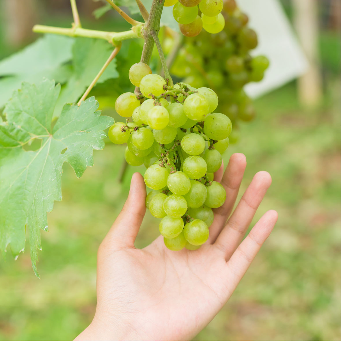 Green Grape Pore Control